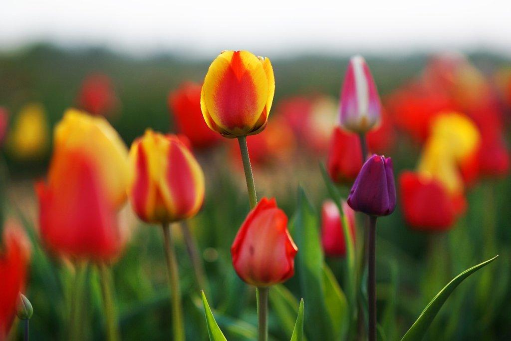 Tulpen 11