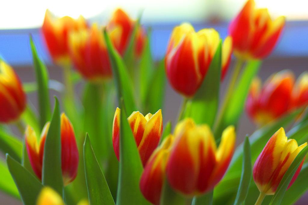 Tulpen 16