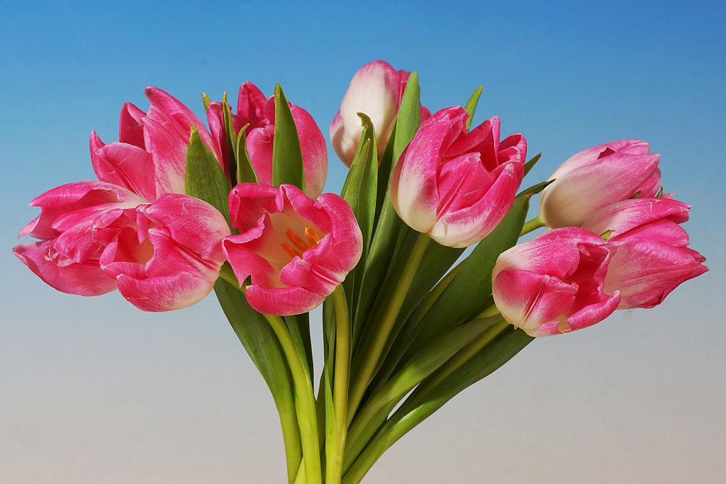 Tulpen 24