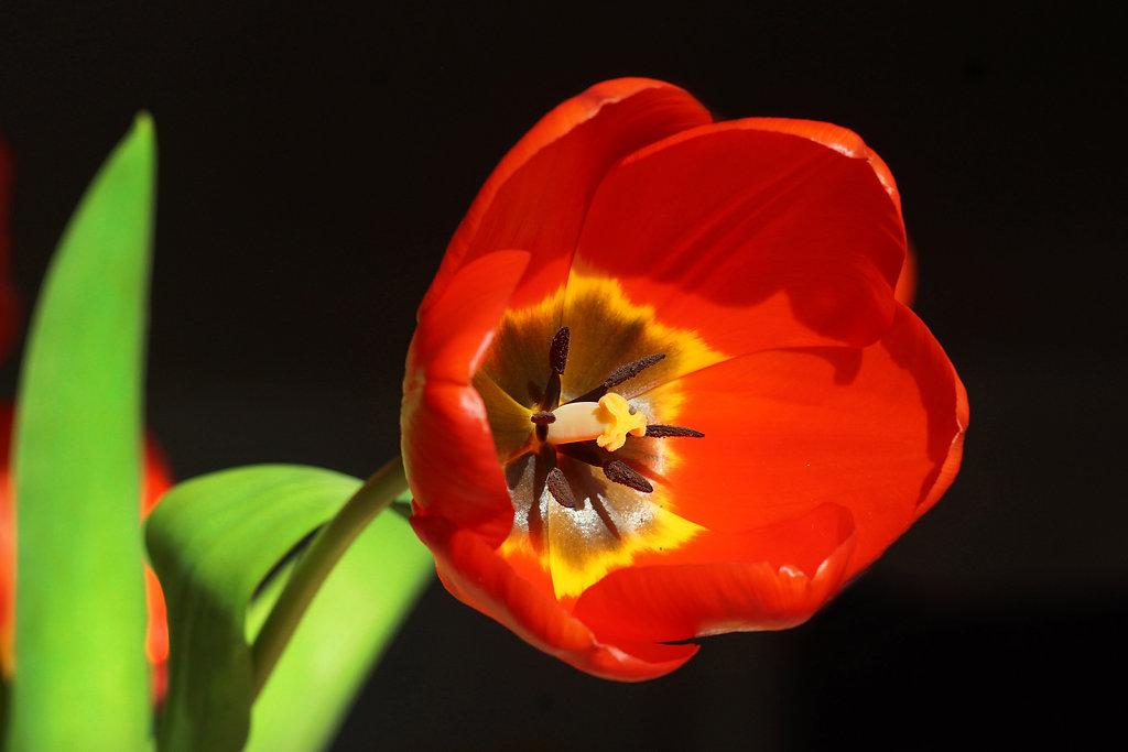 Tulpen 20