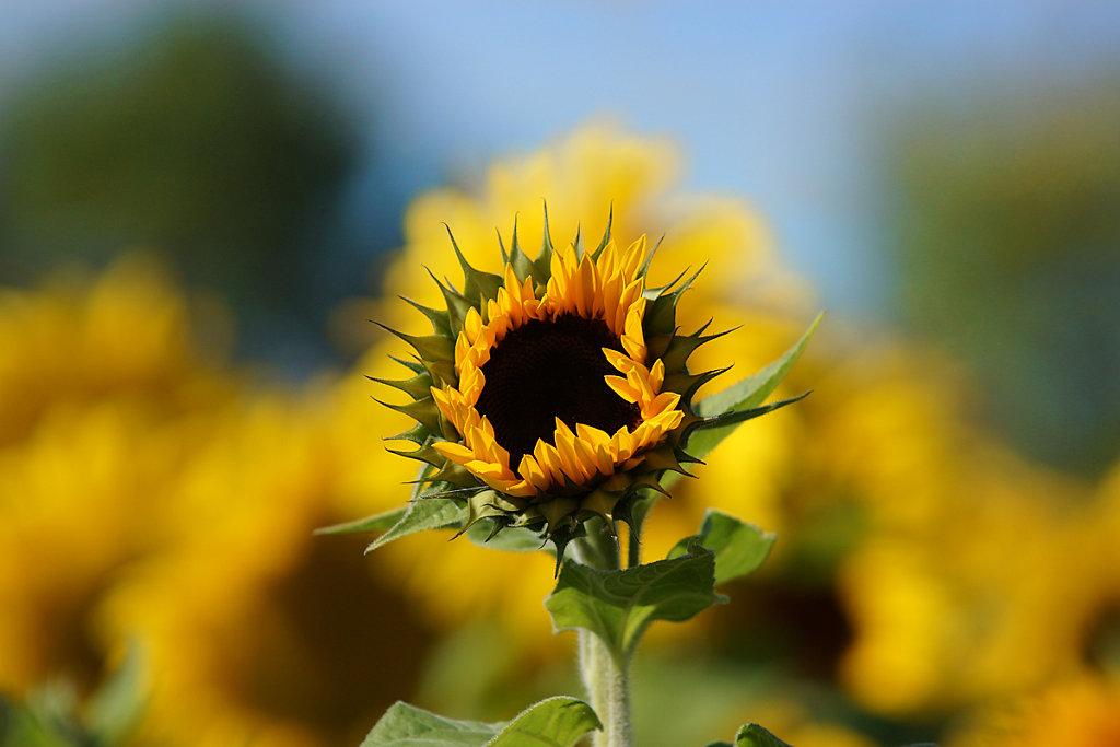 Sonnenblumen 02