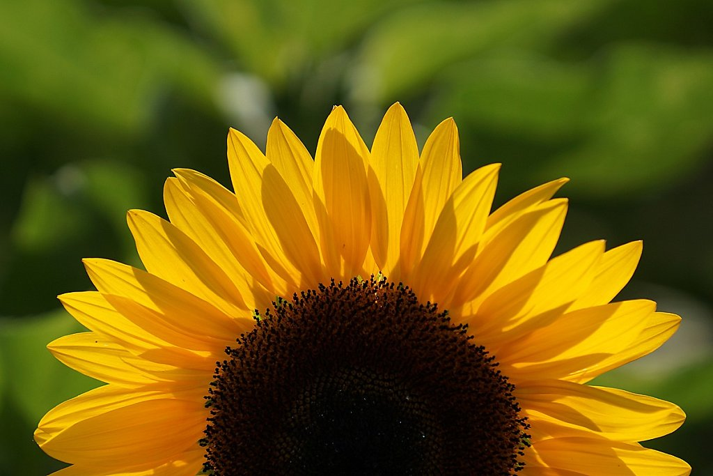 Sonnenblumen 05