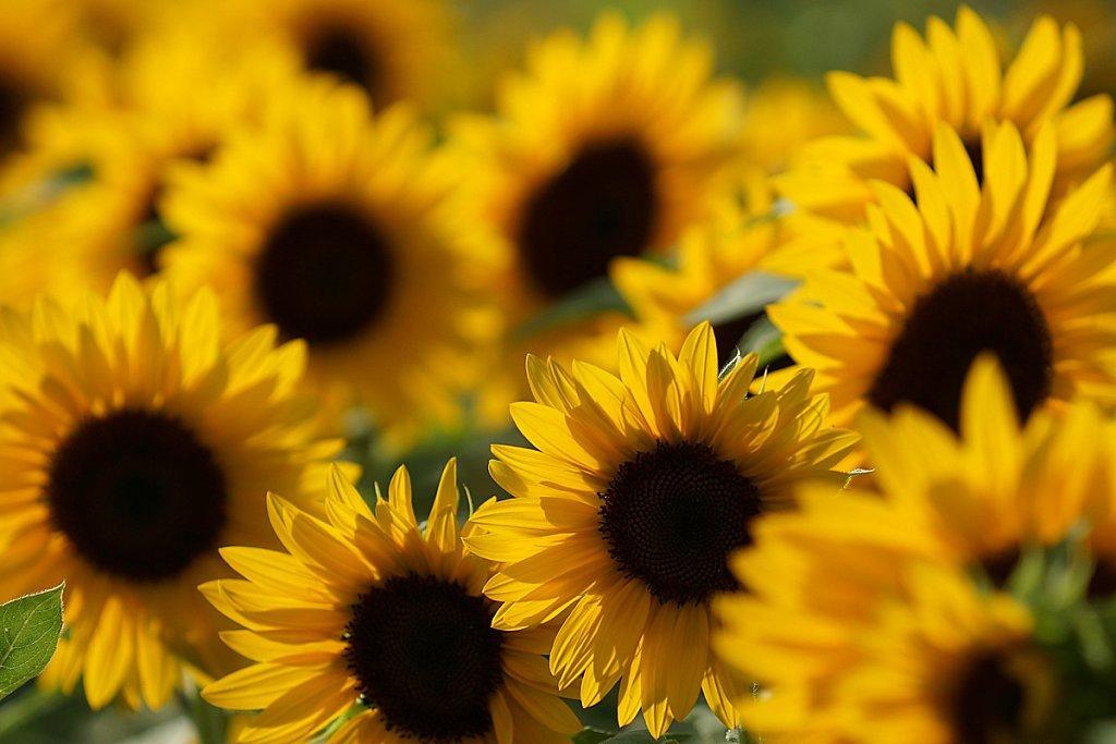 Sonnenblumen 06