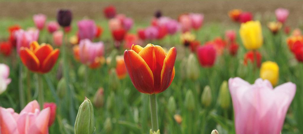 Tulpen 04