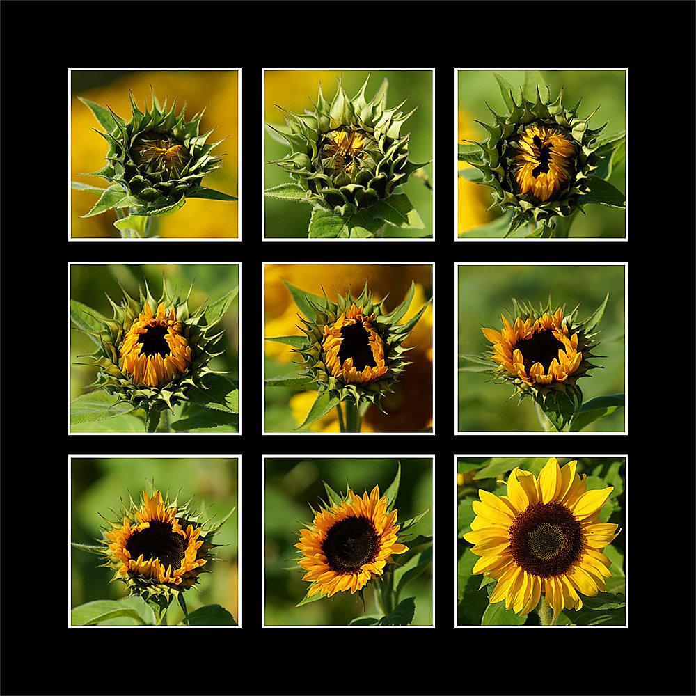 Sonnenblume Collage 1
